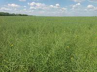Подготовка и Посев поля после зерновых для озимого рапса ЕС ГИДРОМЕЛЬ в Херсонской области в августе-сентябре 2017 года