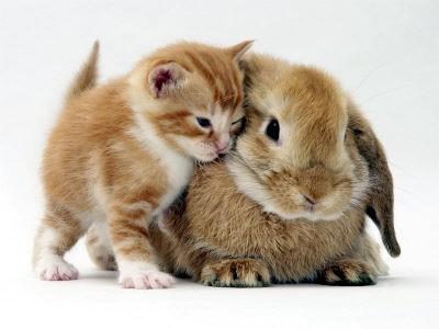 Лечение миксоматоза у привитых кроликов.