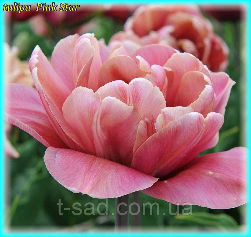 Тюльпан Pink Star (Розовая звезда) 11\12 Новинка!