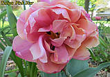 Тюльпан Pink Star (Розовая звезда) 11\12 Новинка!, фото 4