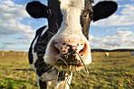 Как защитить корову от клещей?