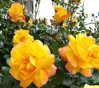 Роза Sahara Сахара растение в контейнере