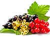 Выращивание смородины: здоровый куст - богатый урожай!