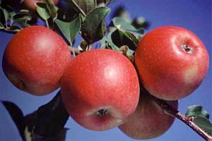 Осенние сорта яблук