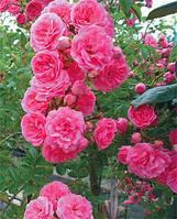 Cаженцы  плетистых роз 'Супер Дороти'