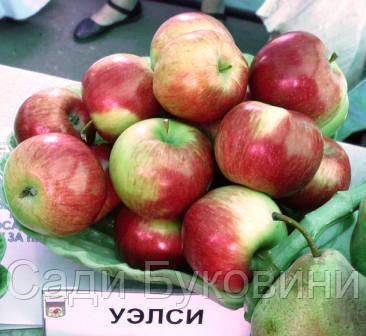 Саженцы яблони Уелси