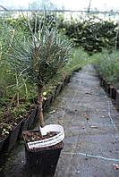 Сосна горная Мопс Pinus mugo Mops, фото 1