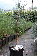 Сосна густоцветковая Лоу Глоу (Pinus densiflora 'Low Glow )