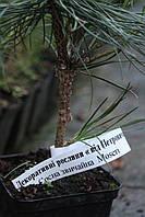Сосна обыкновенная `Мозери`( Pinus sylvesrtis Moseri.)