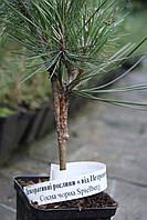 Сосна черная Спилберг ( Pinus nigra 'Spielberg'), фото 1