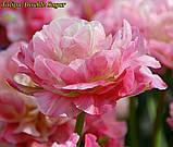Тюльпан Double Sugar (Двойная сладость) 12+ Новый сорт!, фото 2