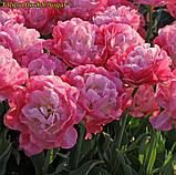 Тюльпан Double Sugar (Двойная сладость) 12+ Новый сорт!, фото 4