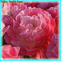 Тюльпан Double Sugar (Двойная сладость) 11\12 Новый сорт!