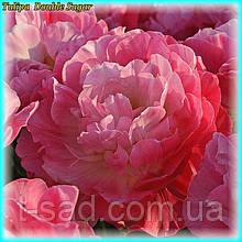 Тюльпан Double Sugar (Подвійна насолода) 12+ Новий сорт!