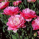 Тюльпан Double Sugar (Двойная сладость) 12+ Новый сорт!, фото 5