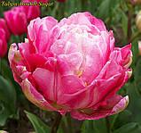 Тюльпан Double Sugar (Двойная сладость) 12+ Новый сорт!, фото 3