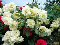 Роза Elfe Эльф.