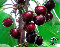 Саженцы вишни Шалунья ( Украина )