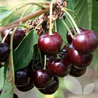Саженцы вишни Спутница ( Украина )