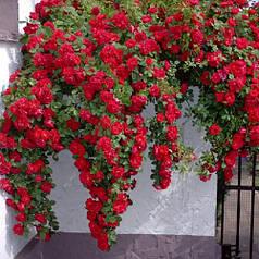 Саженцы вьющейся розы Фламентанц (Flammentanz)