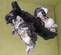 Еще котята-бобтейлята.