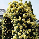 Роза парковая Консуэлла (Konsuella), фото 3