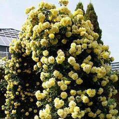 Саженец парковой розы Консуэлла (Konsuella)