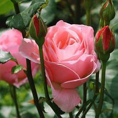 Саженцы розы спрей розовой Линда