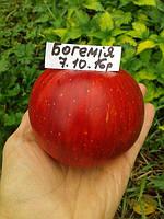 Саженцы яблони Богемия    (Чехия)