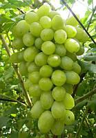 Виноград Вега Запорожская
