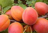 Саженцы абрикоса LE - 32/76 (Бетинка).