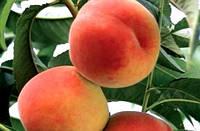 Саженцы персика Онтарио ( Канада )