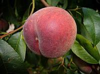 Саженцы персика Руби Принц ( США )