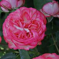 Роза английская плетистая Розовый лед