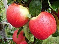 Яблоки Эрли Женева, высший сорт 1 кг