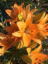 Лилия азиатская Оранж .