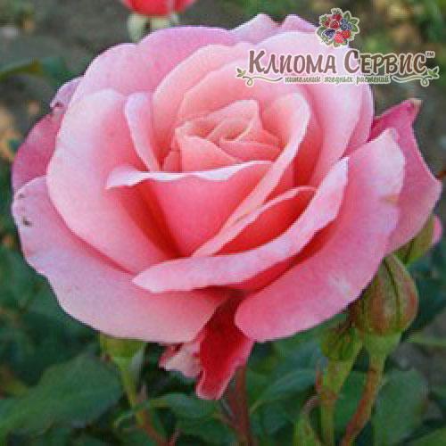 Саженцы роз сорт Роза Marco (Марко) - Клиома Сервис™ - питомник ягодных растений в Волынской области