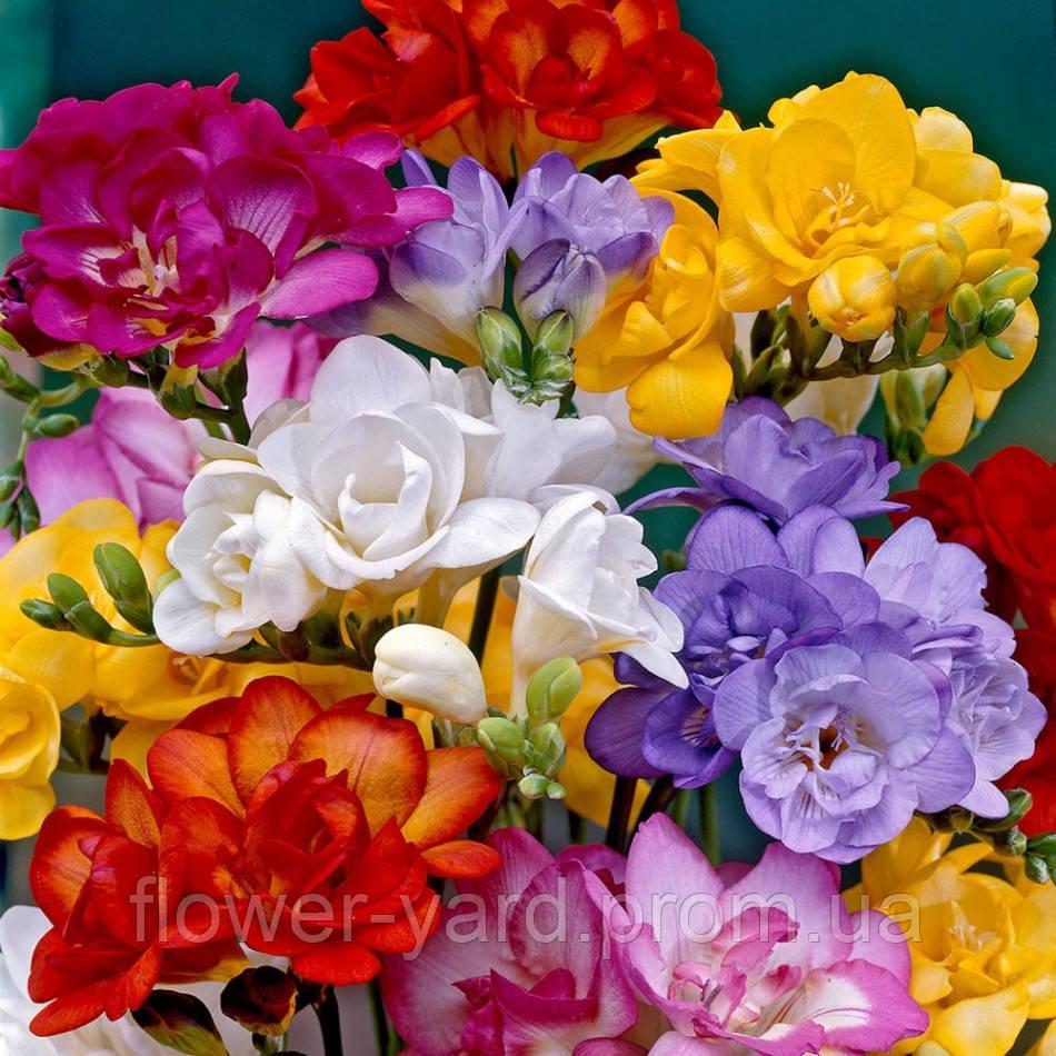 Интернет магазин цветов в бердянске роза ивано-франковск букет