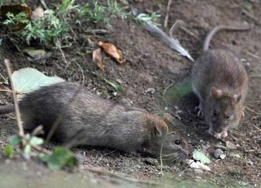 Преимущества использования родентицида Крысиная смерть №1