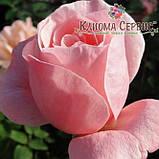 Саженцы роз сорт Куин оф Ингланд (Queen of England), фото 2