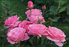 Саженцы роз сорт Куин оф Ингланд (Queen of England)