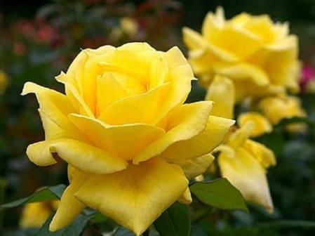 Саженцы роз сорт Ландора (Landora), фото 2