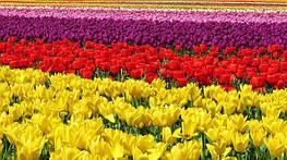 Отцвели тюльпаны и что дальше?