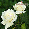 Саженцы роз сорт Паскали (Pascali)
