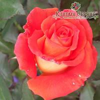 Саженцы роз сорт Angelique (Анджели)