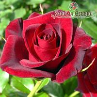 Саженцы роз сорт Гранд При