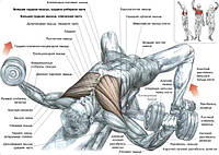 Лежачи спиною на вузькій лаві, що дозволяє вільно рухати плечима. Гантелі тримати на злегка зігнутих руках для зменшення їх напруги в ліктьовому суглобі: - зробити вдих і розвести руки в сторони, так щоб лікті виявилися на рівні плечей по горизонтал