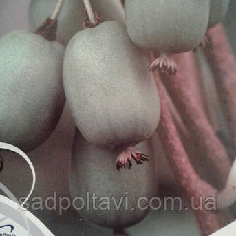 Саженцы актинидии вити киви (witikivi) самоплодного в конт.1,5л, фото 2