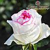 Саженцы роз сорт Дольче Вита (Dolce Vita)