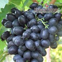 Саженцы винограда сорт Кишмиш Аттика